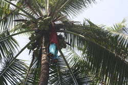 Women in Kerala Exploring New Avenues in Coconut Plucking