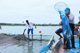 Brackishwater cage farming of seabass fish for enhancing fish production and alternate livelihood support of coastal population in Tamil Nadu: a Success story by ICAR-CIBA, Chennai