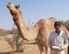 Camel Milk gets the food tag from FSSAI