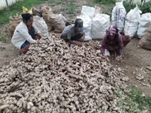 Livelihood security of tribal farmer through organic ginger cultivation in Sikkim