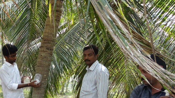 Release of Goniozus nephantidis parasitoids on black headed caterpillar infested palm in S.Yanam village