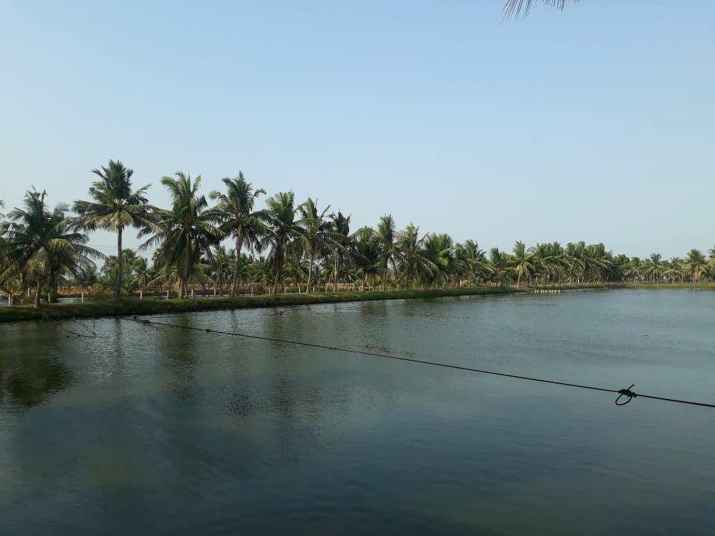 Coconut palms on fish pond bunds recovered from black headed caterpillar infestation after release of parasitoids in S.Yanam village.