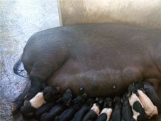 Artificial Insemination in pig: Boosting the quality piglets production in Nagaland
