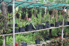 Blooming Orchid Cultivation in Integrated Hill Farming System of Sikkim